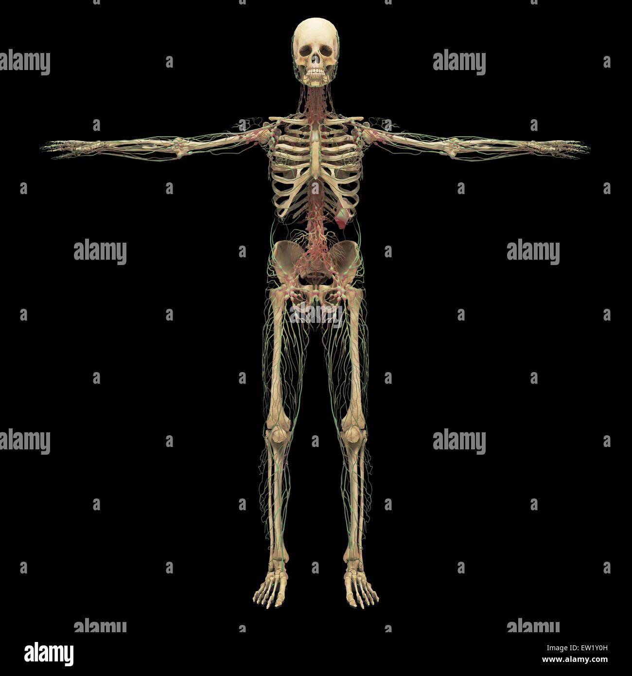 3D-Rendering menschliche Lymphsystem mit Skelett. Stockbild