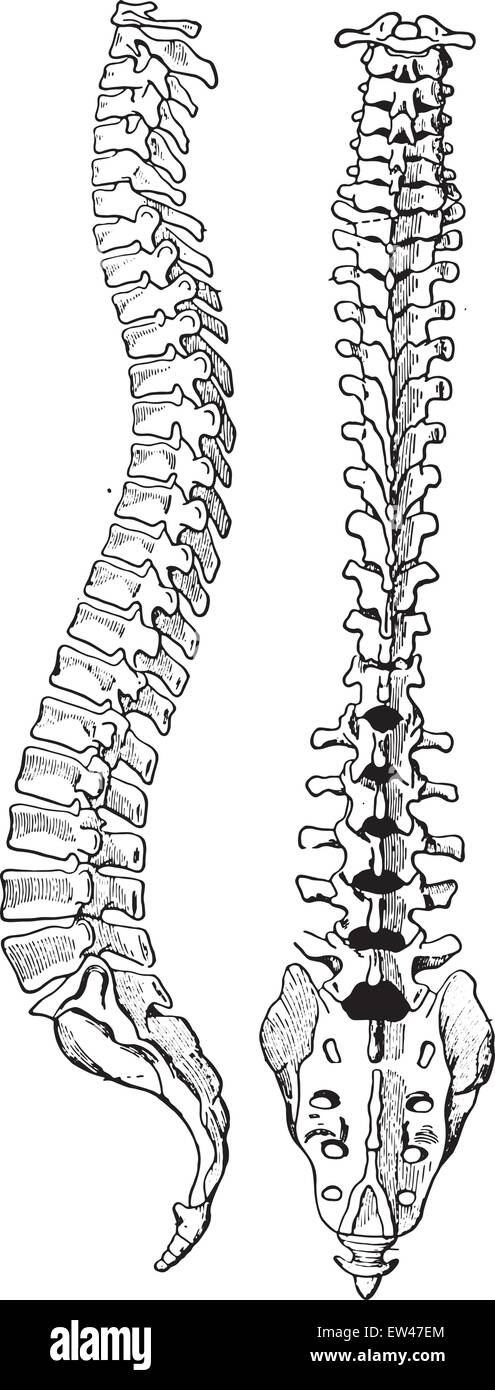 Vertebral Body Stockfotos & Vertebral Body Bilder - Seite 2 - Alamy