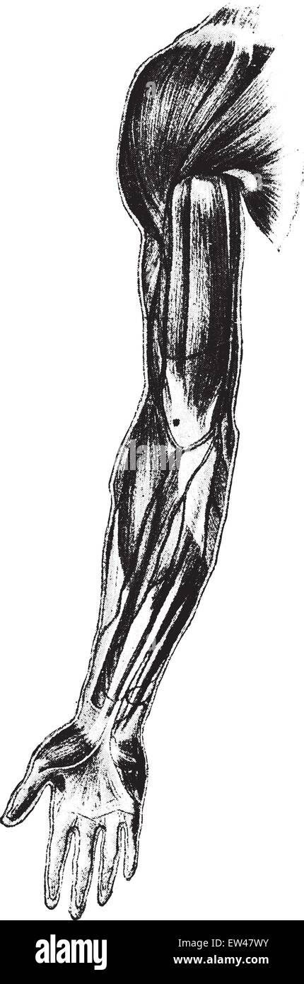 Arm Forearm Stockfotos & Arm Forearm Bilder - Seite 2 - Alamy