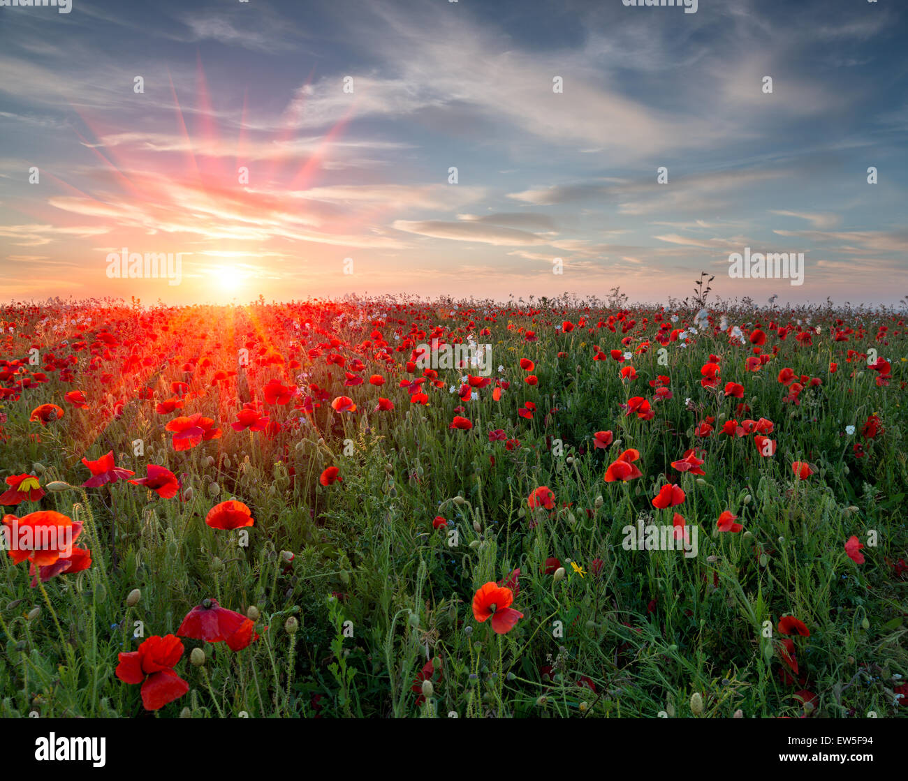Sonnenuntergang über einem Feld von pulsierenden roten Mohnblumen und Wildblumen Stockbild
