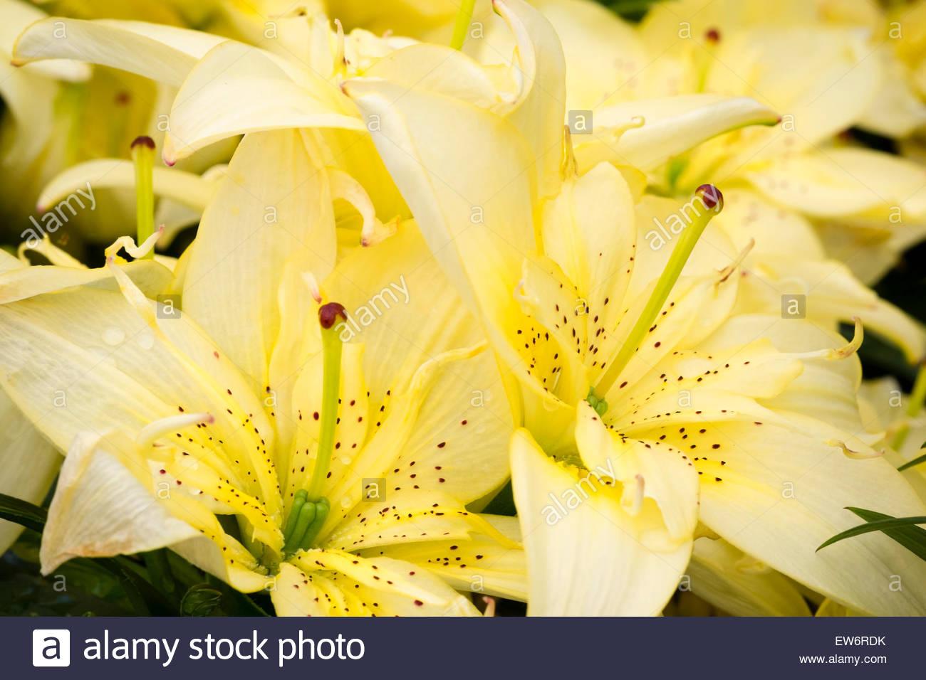 Lilie 'Freude' Berg gelbe Blüten, UK Stockbild
