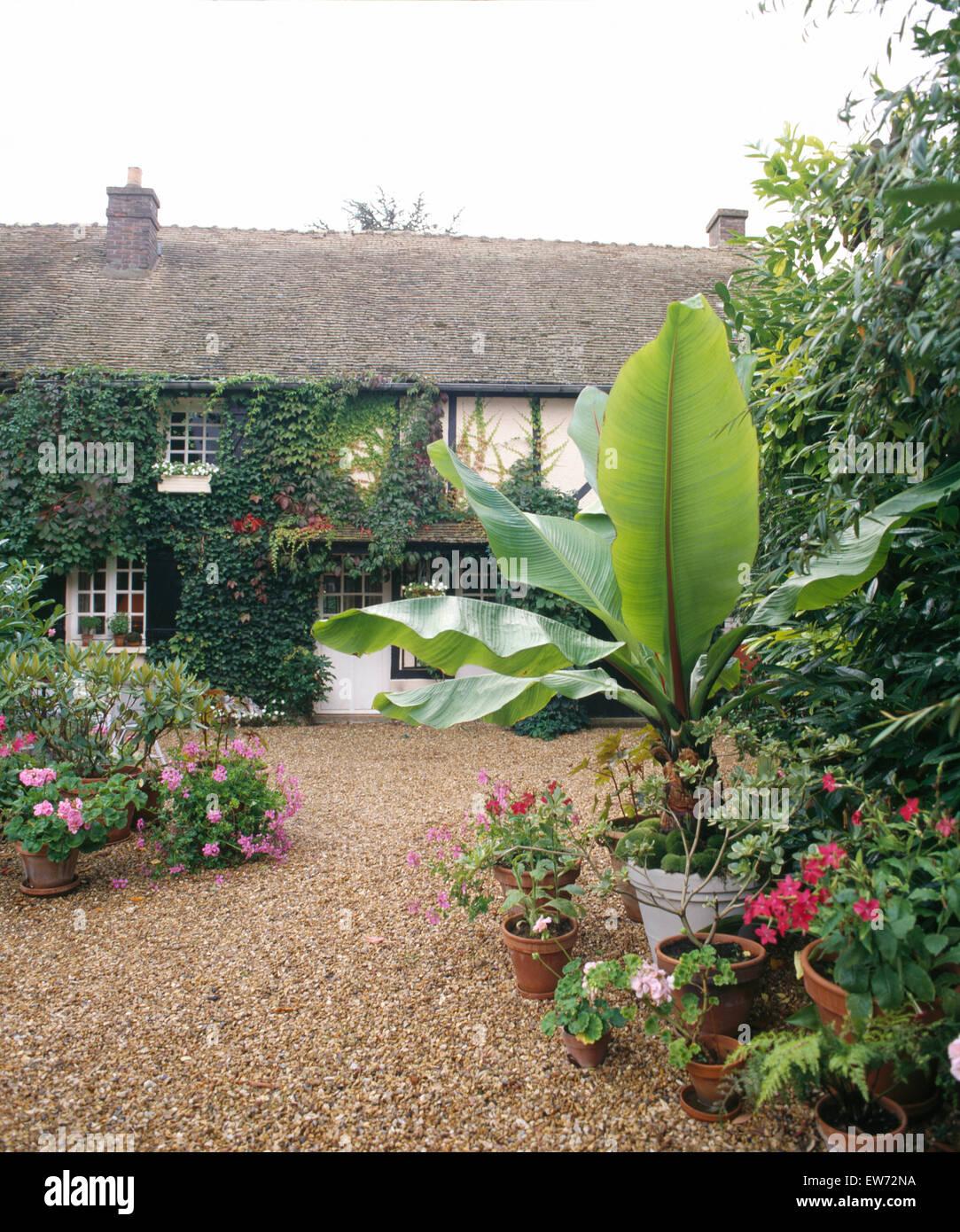 töpfe mit rosa geranien und eine bananenpflanze auf kies terrasse