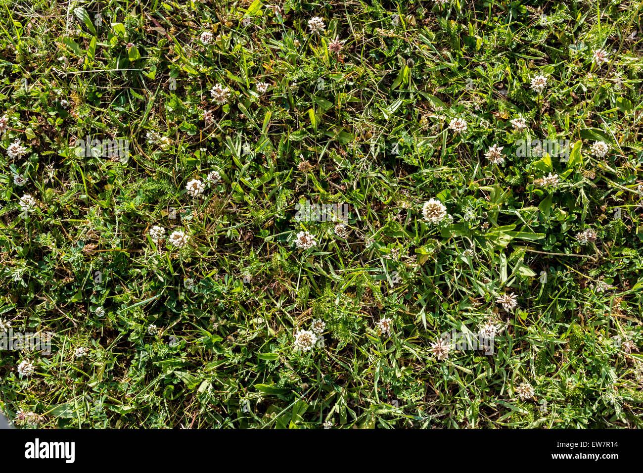 Weiß shamrock Wiese Textur Hintergrund Muster Pflanze Glück Symbol Stockbild