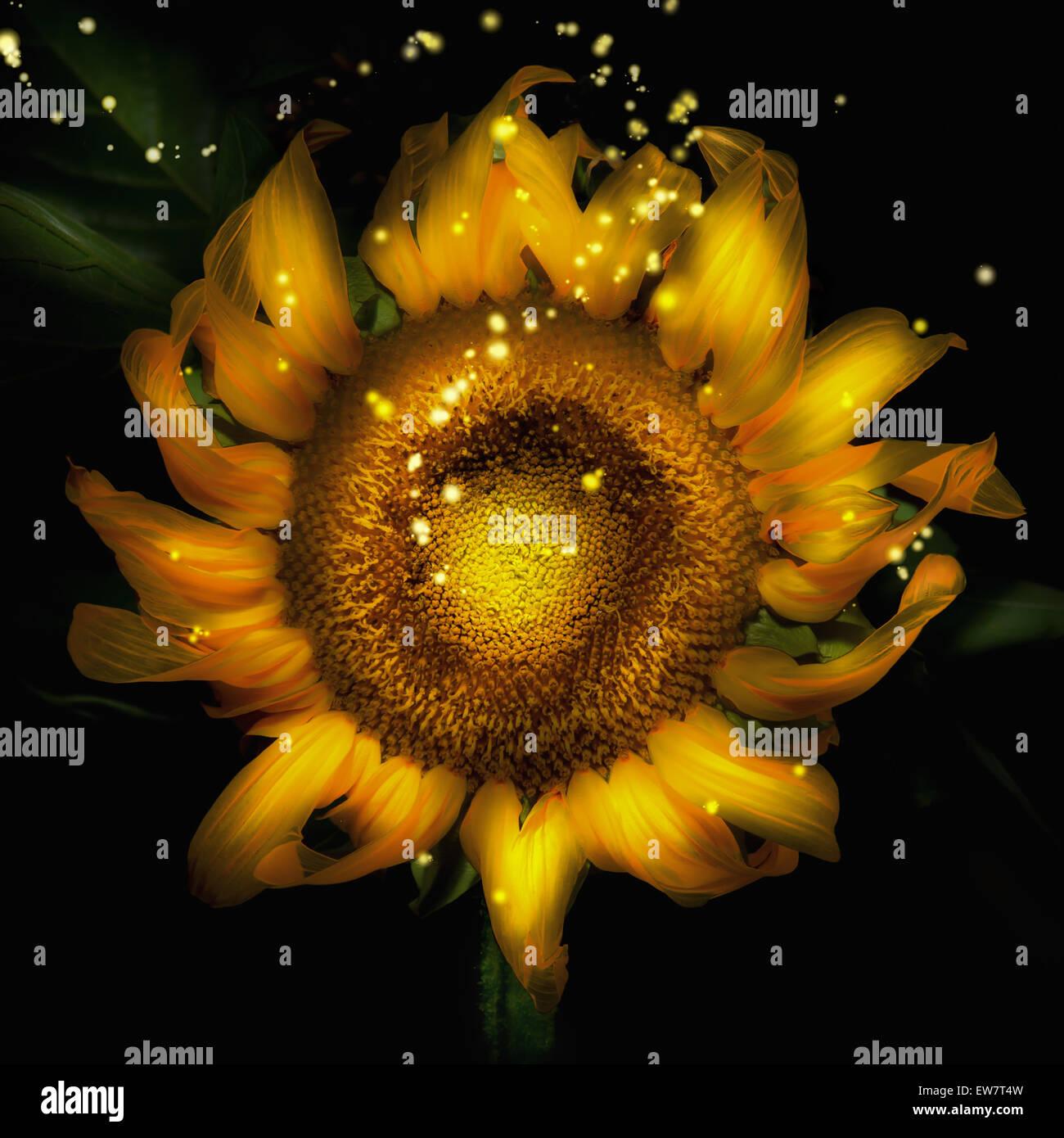 Nahaufnahme von hinten beleuchtete Sonnenblume mit funkelt Stockbild