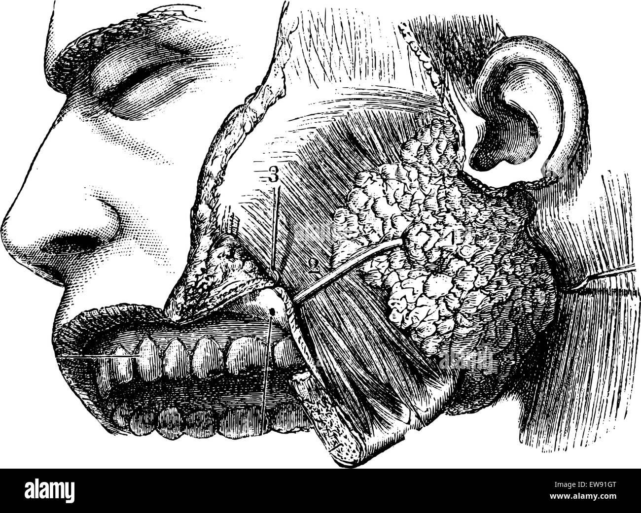 Menschlichen Ohrspeicheldrüse und sternocleidomastoideus Muskel ...