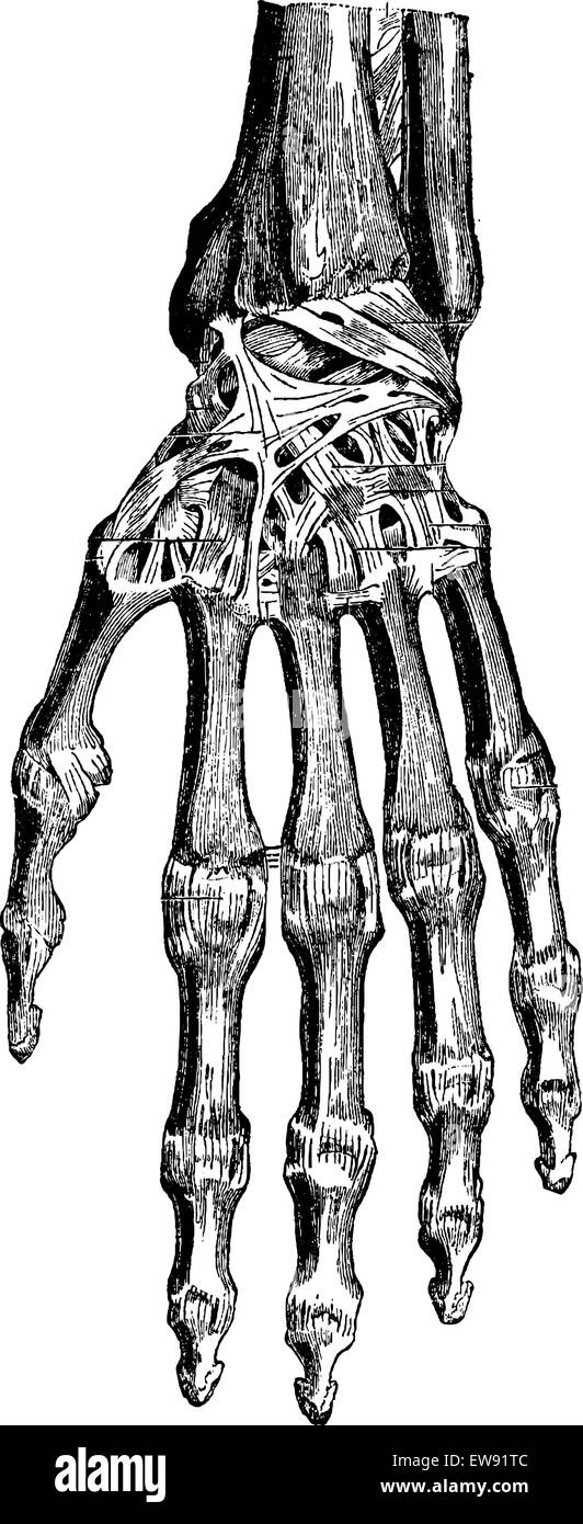 Berühmt Carpals Knochen Zeitgenössisch - Anatomie Von Menschlichen ...