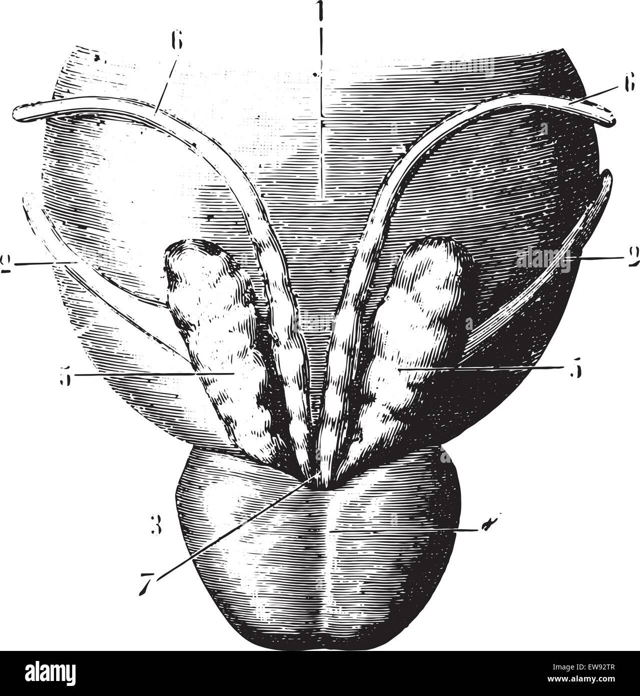 Posterior Gesicht der Blase, Samenbläschen und Prostata, graviert ...