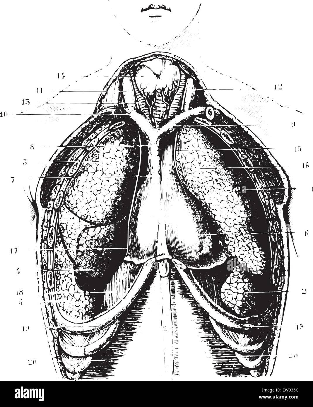 Schneiden den Brustbereich für eine Show zur Verfügung Lunge ...