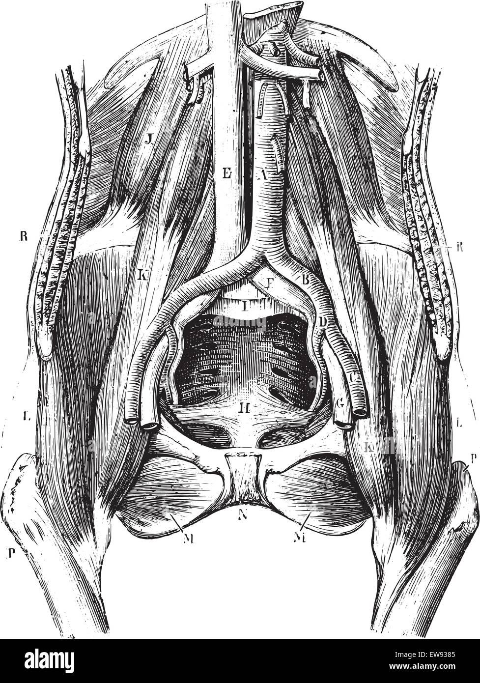 Ausgezeichnet Weibliche Anatomie Blase Gebärmutter Ideen ...