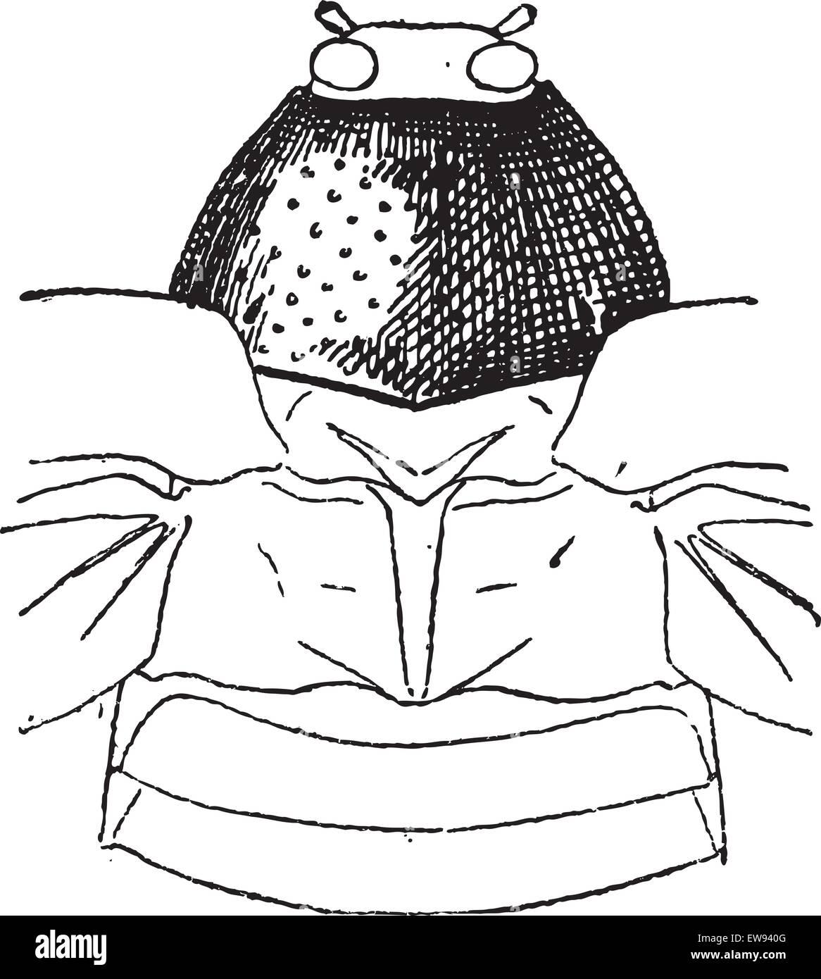 Prothorax, graviert Vintage Illustration. Wörter und Sachen - Larive und Fleury - 1895. Stockbild
