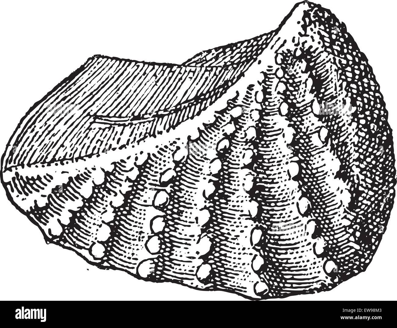 Neotrigonia Navis graviert Vintage Illustration. Wörterbuch der Worte und Dinge - Larive und Fleury - 1895 Stockbild