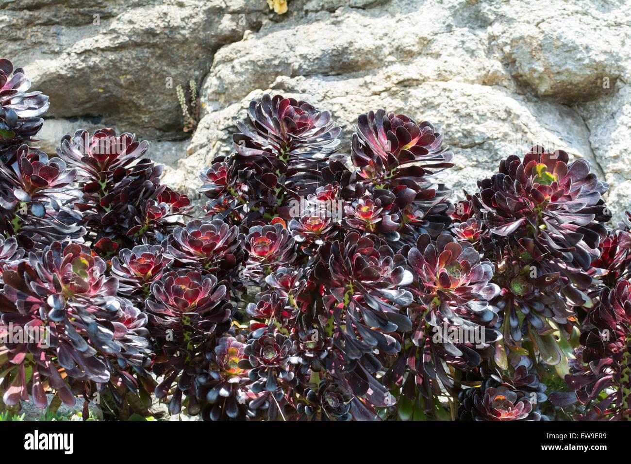 Dunkel lila Aeoniums gegen einen weißen Felsen Stockbild