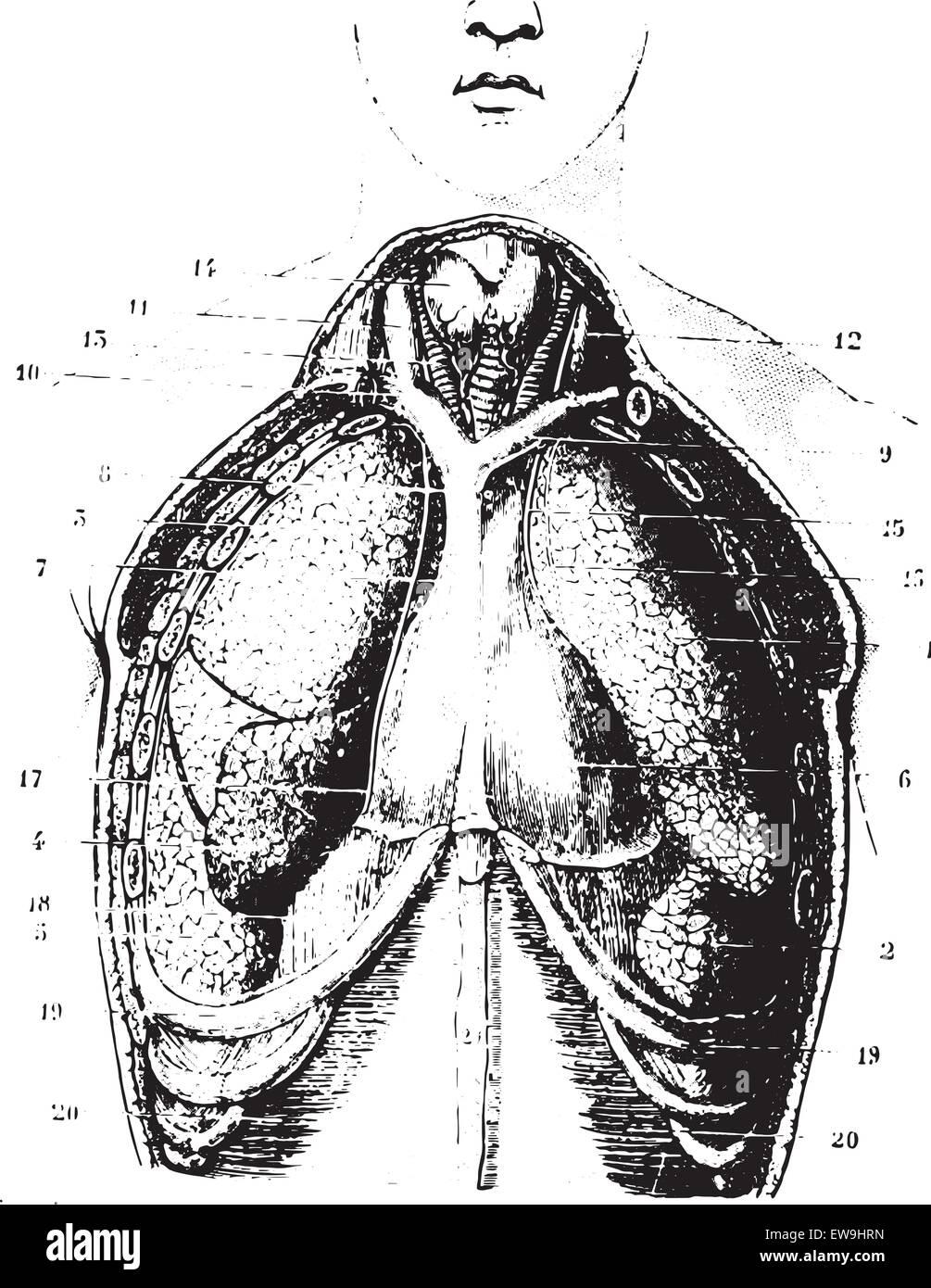 Tasse Schicksal hat Brustbereich verfügbar Perikard, Pleura und ...