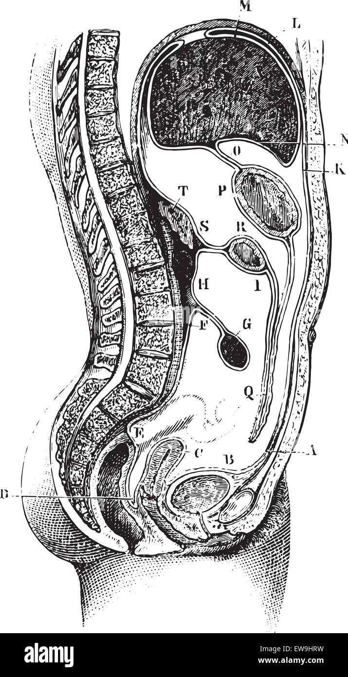 Peritoneum The Bladder Stockfotos & Peritoneum The Bladder Bilder ...