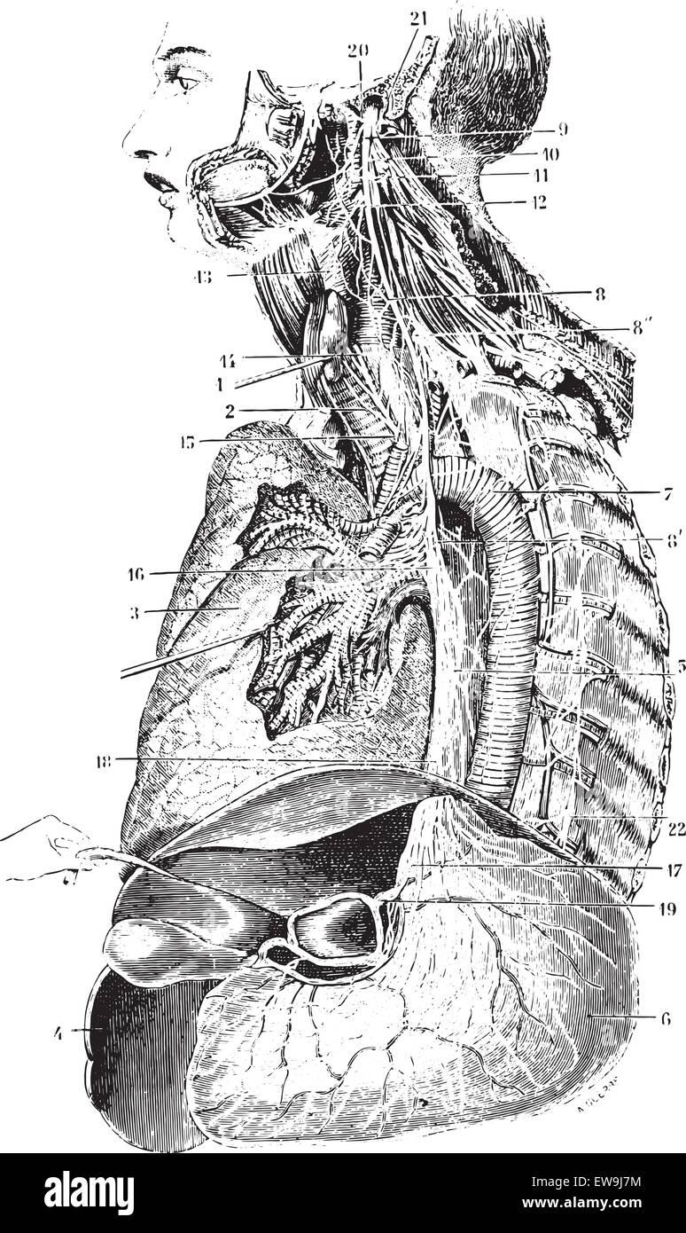 Tolle Siebten Hirnnerven Galerie - Menschliche Anatomie Bilder ...