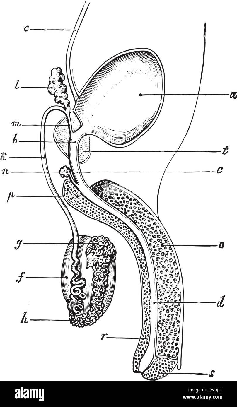 Drawing Anatomy Genital Stockfotos & Drawing Anatomy Genital Bilder ...