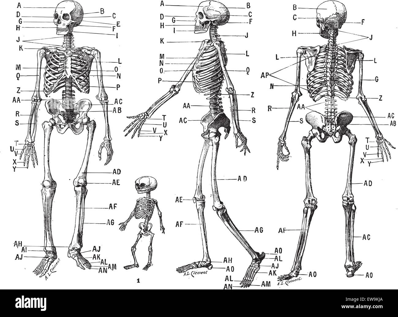 Ziemlich Menschliches Skelett Diagramm Für Kinder Ideen - Anatomie ...