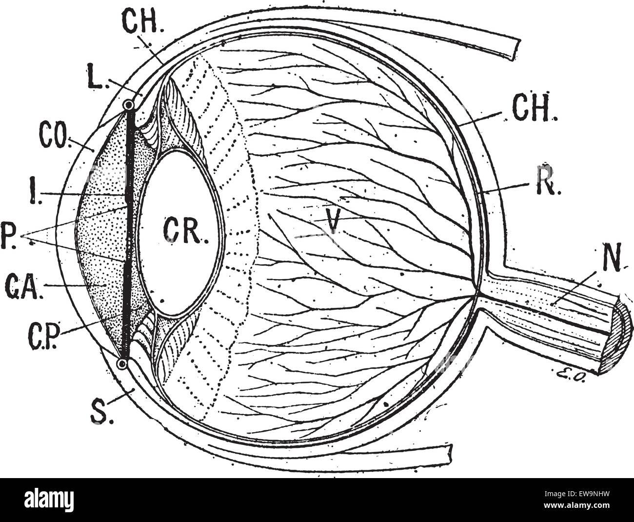 Iris, graviert Vintage Illustration. Menschliche Auge. Wörter und ...