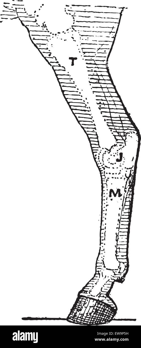 Pferd-Bein, graviert Vintage Illustration. Wörter und Sachen - Larive und Fleury - 1895. Stockbild