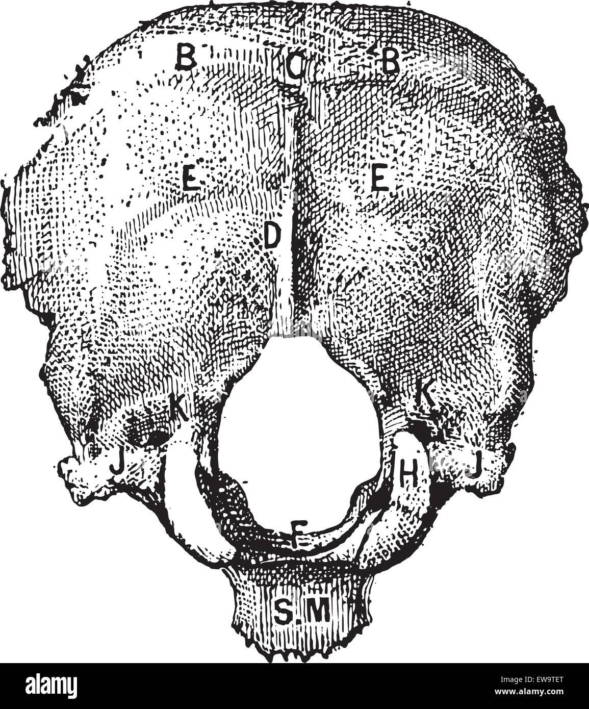 occipital stockfotos amp occipital bilder alamy