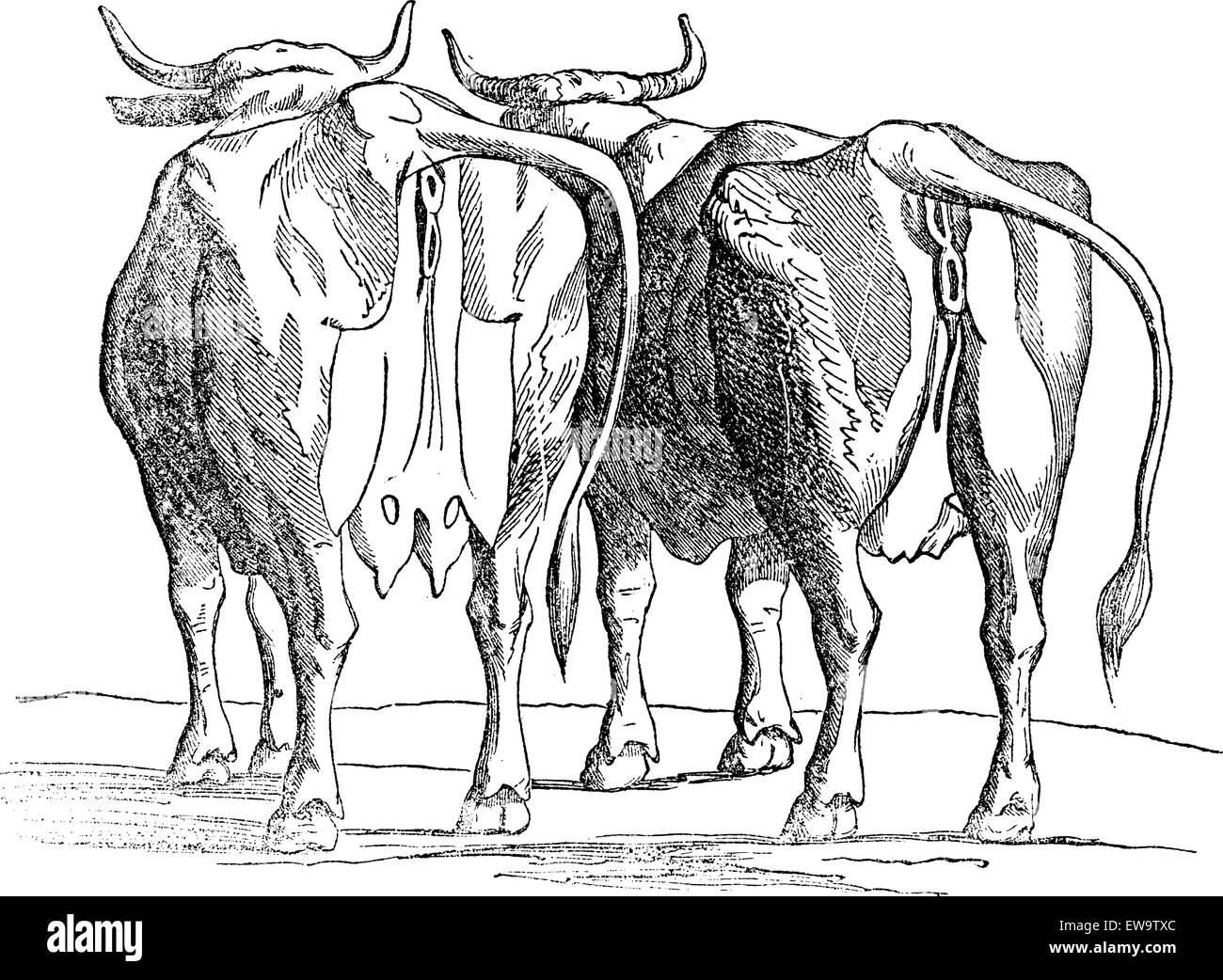 Schön Kuh Brustdrüse Anatomie Ideen - Anatomie Ideen - finotti.info
