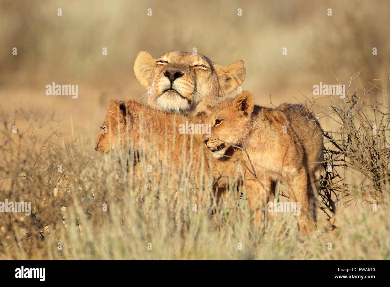 Löwin mit jungen junger Löwe (Panthera Leo), Kalahari-Wüste, Südafrika Stockbild