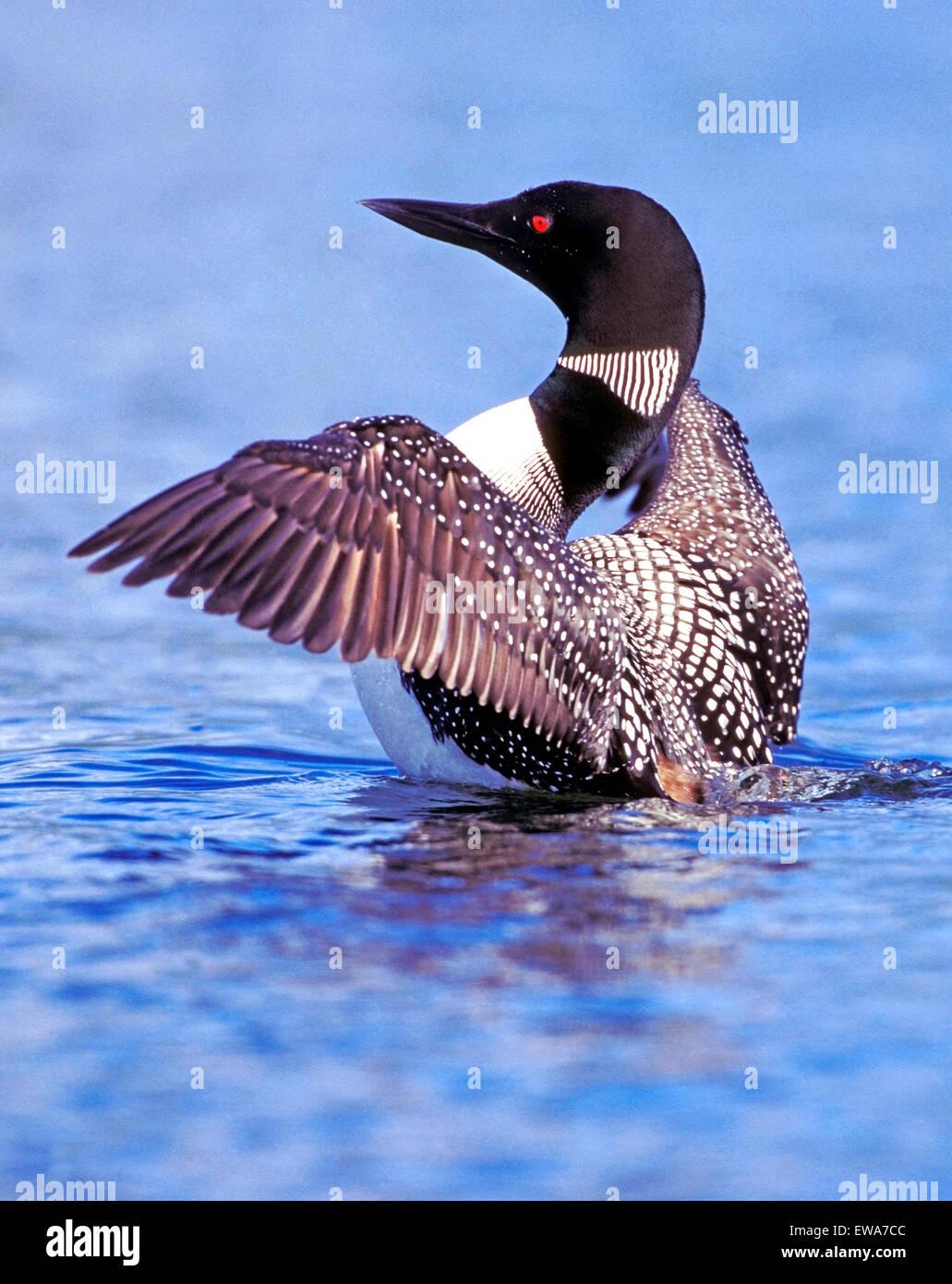 Gemeinsamen Loon oder Great Northern Diver Flügel ausbreiten Stockfoto