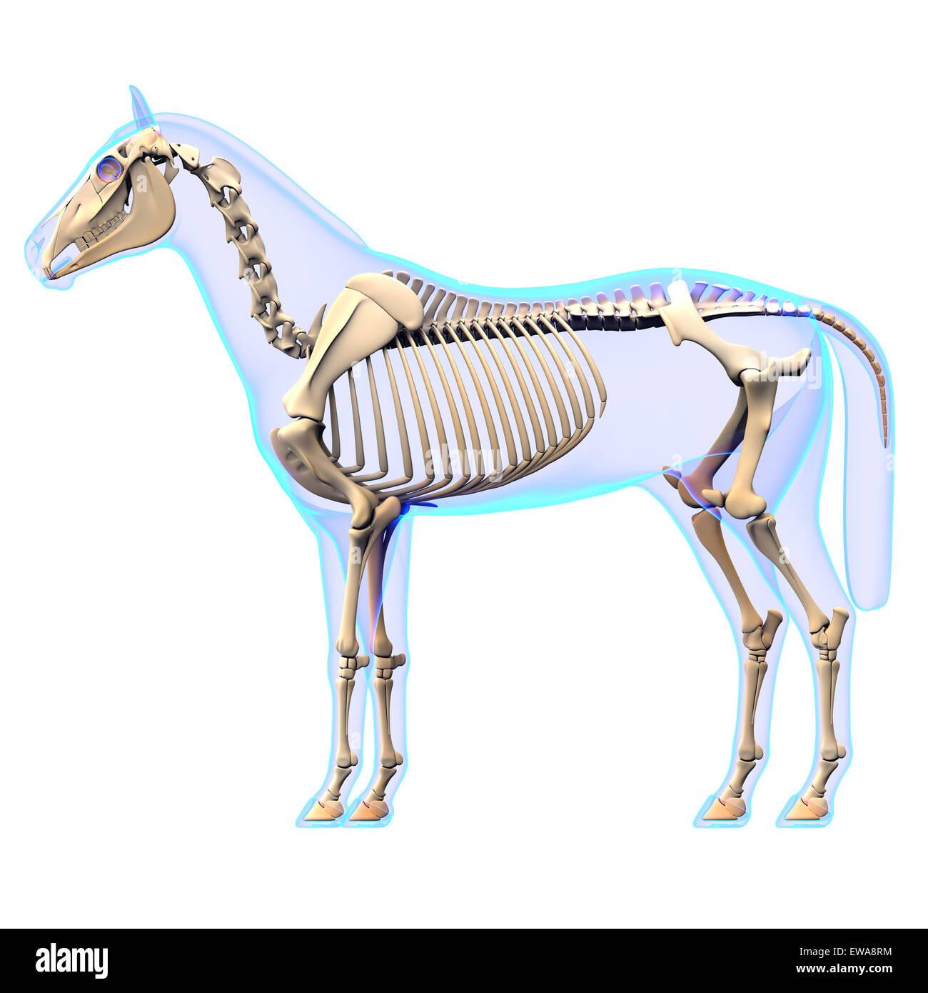 Tolle Pferd Anatomie Skelett Bilder - Menschliche Anatomie Bilder ...