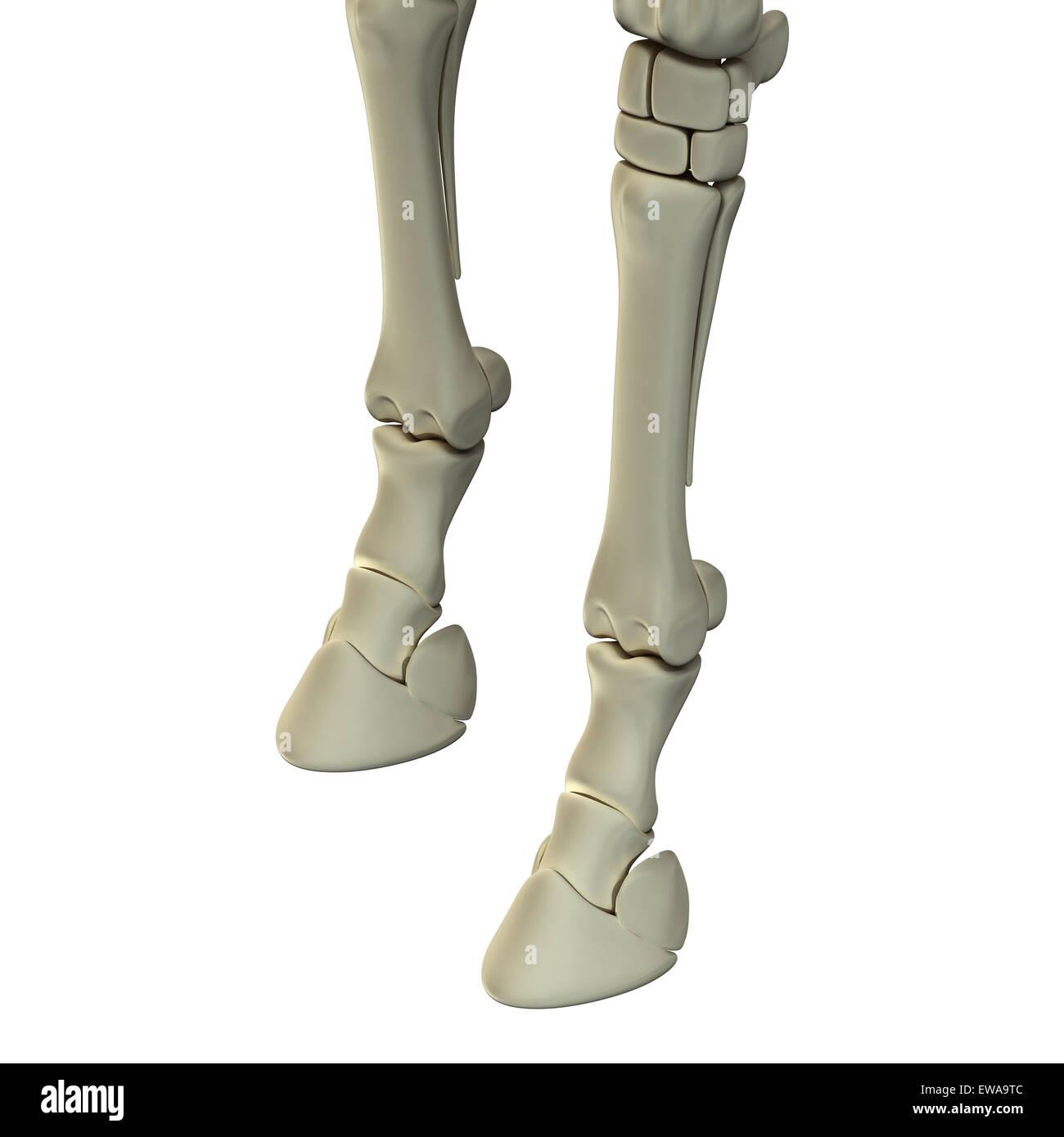 Vorderen Beinknochen - Pferd Equus Anatomie - isoliert auf weißem ...