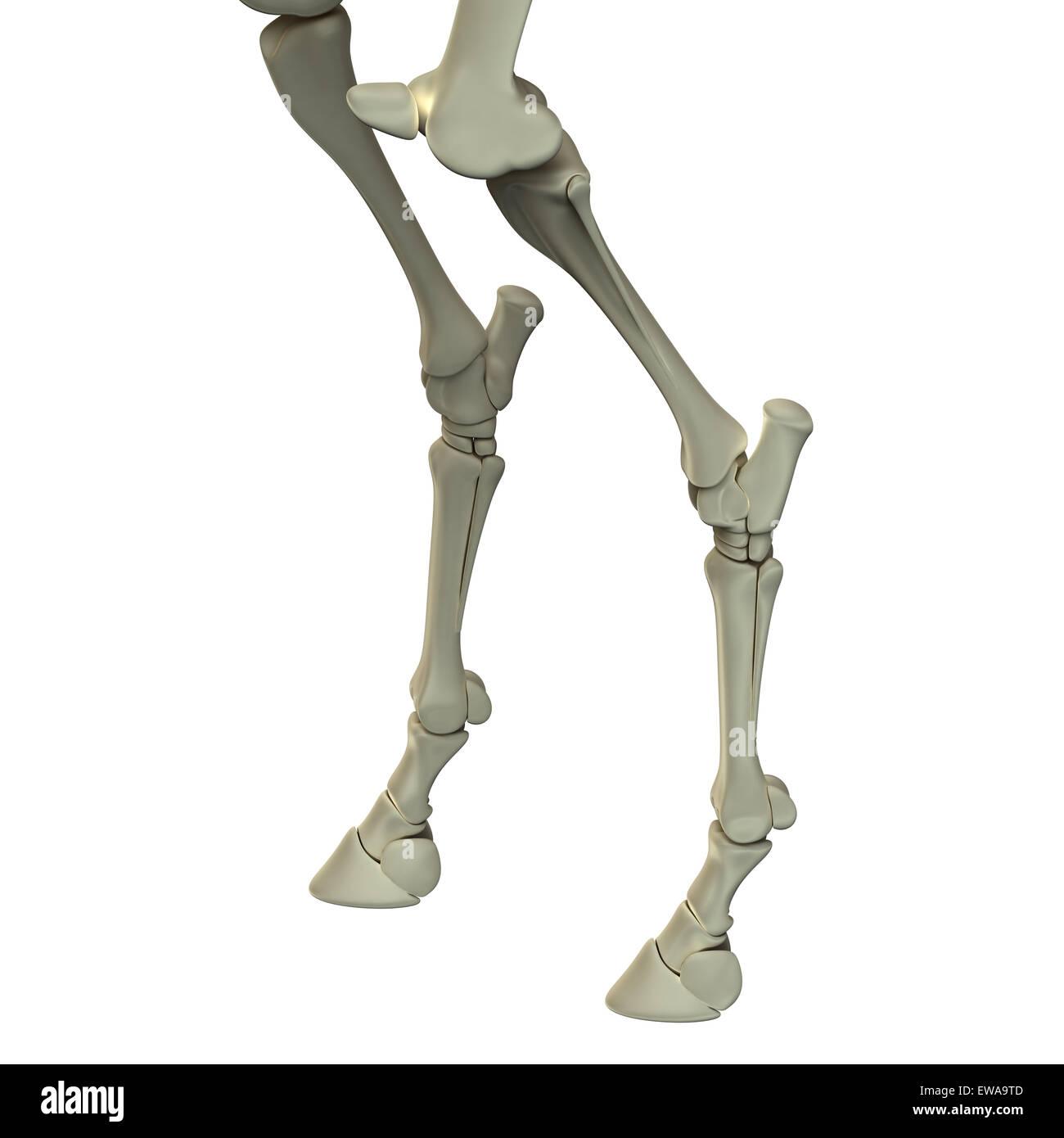 Hind Beinknochen - Pferd Equus Anatomie - isoliert auf weißem Pferd Stockbild