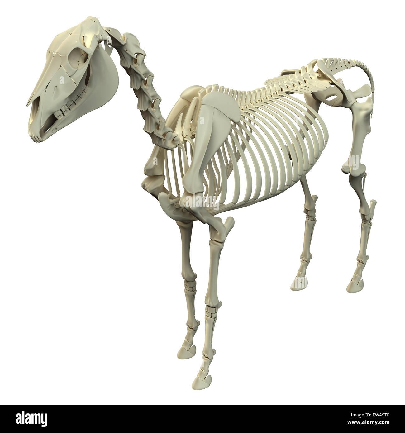Skelett - Pferd Equus Anatomie - isoliert auf weißem Pferd Stockfoto ...