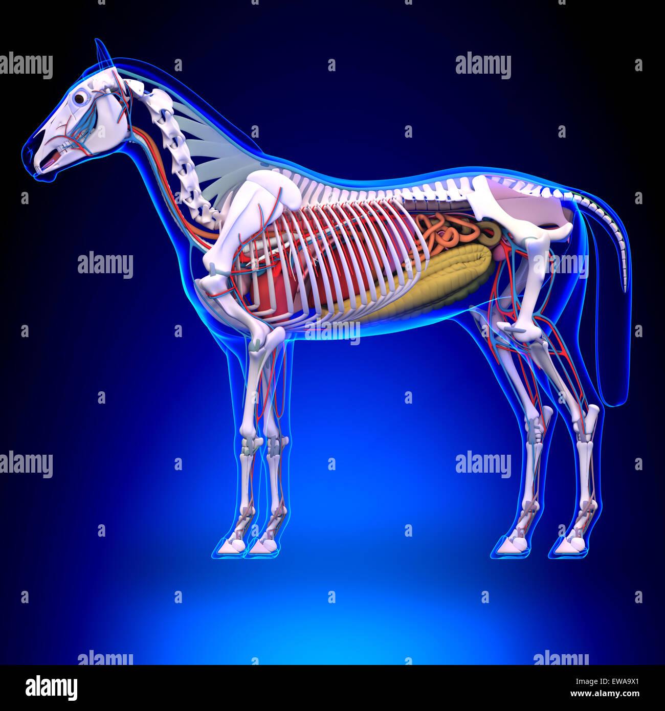 Pferdenanatomie - Innere Anatomie des Pferdes Stockfoto, Bild ...