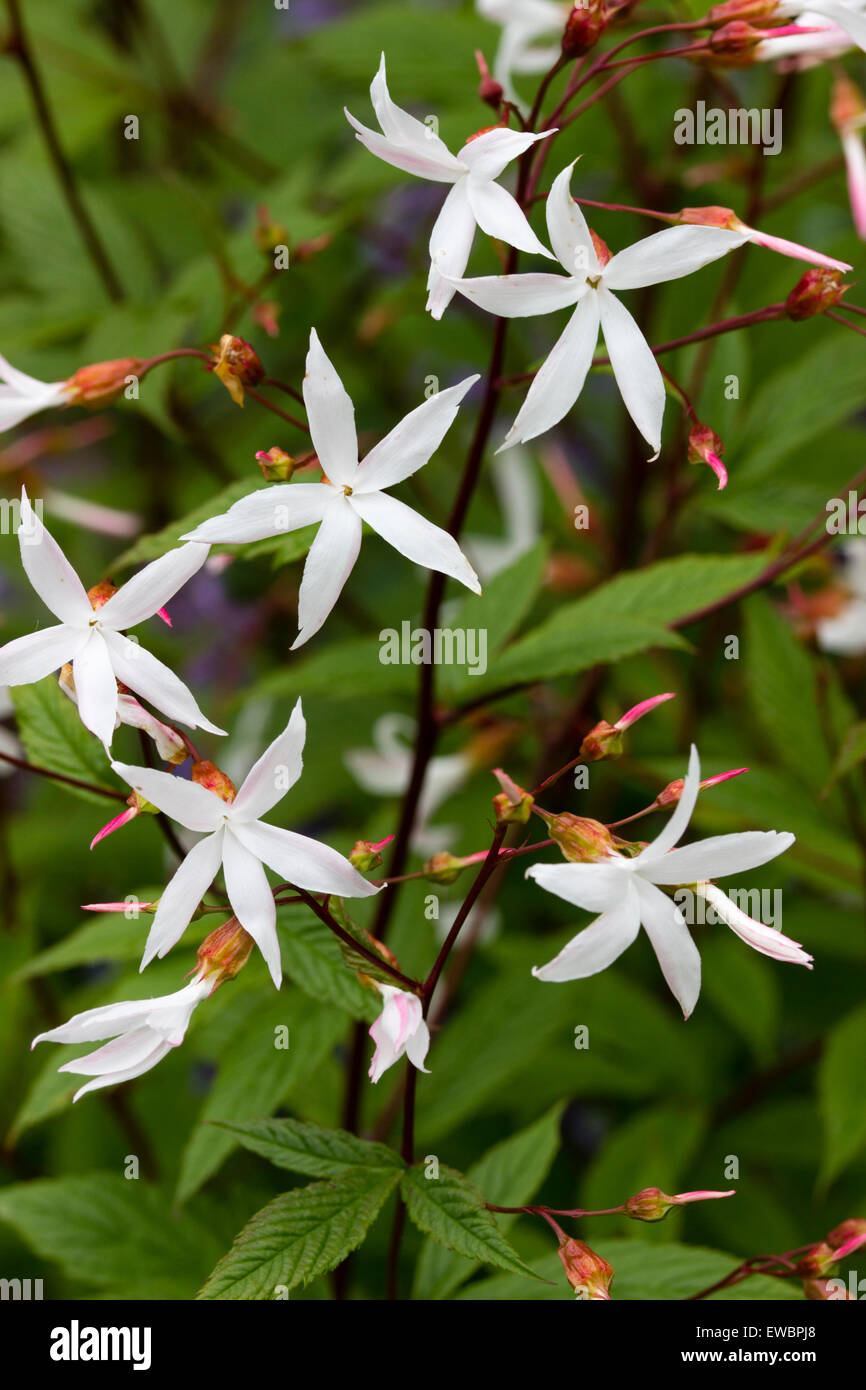 Berühmt Zarte weiße Blüten, die lange blühende Staude, Gillenia trifoliata &WZ_48