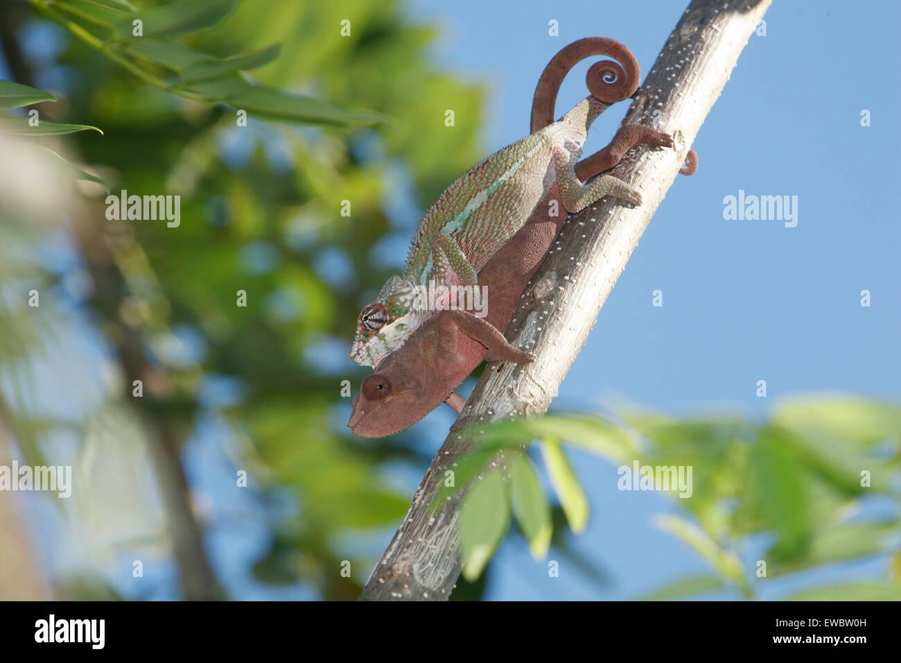 Paarung Panther Chamäleons (Furcifer Pardalis) Maroantsetra, Madagaskar Stockfoto