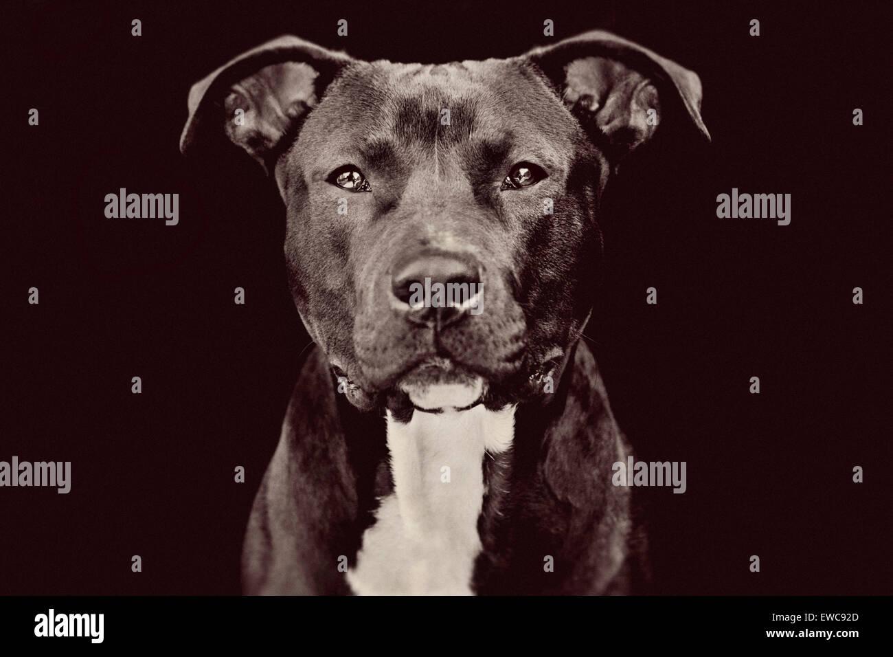 Studioportrait eine mittlere große Erwachsenen schwarzen Pitbull Hund auf schwarzem Hintergrund gerichtete Kamera mit fesselnden Blickkontakt Stockfoto