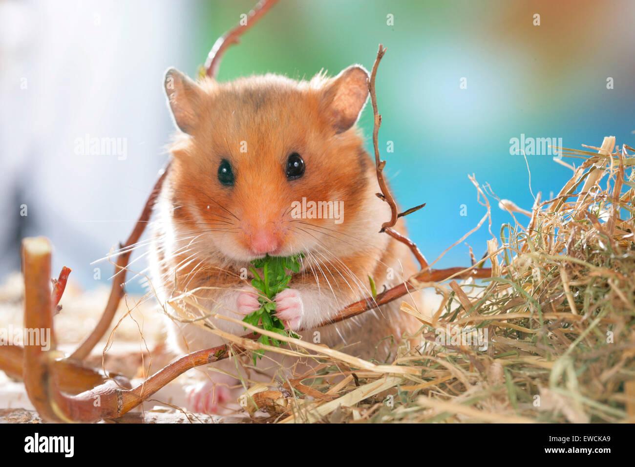 Hamster erwachsener Vids