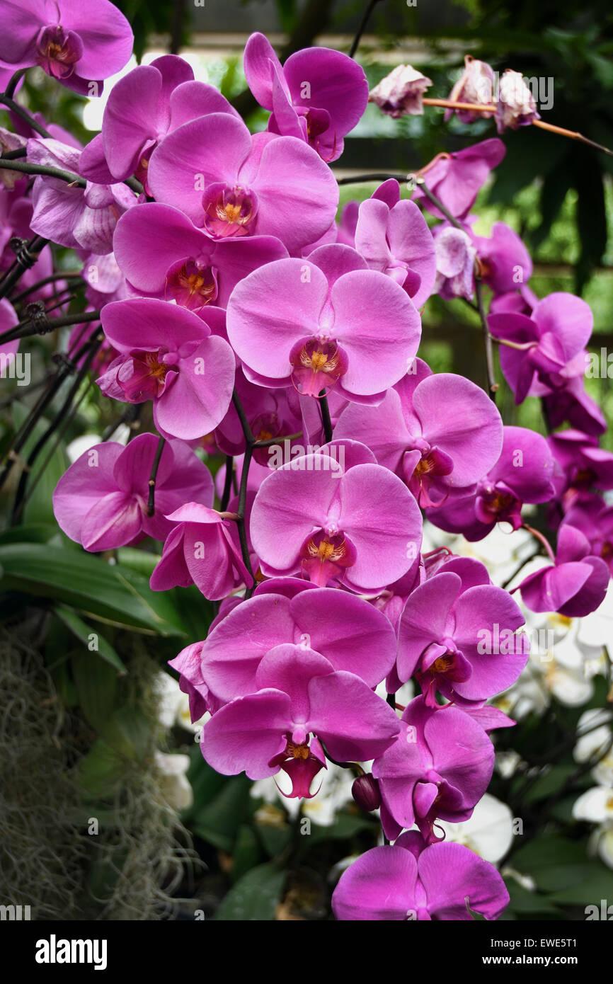 China Shanghai Orchideen Orchideen Blume Blumen Botanischer chinesische Biogarten Stockbild