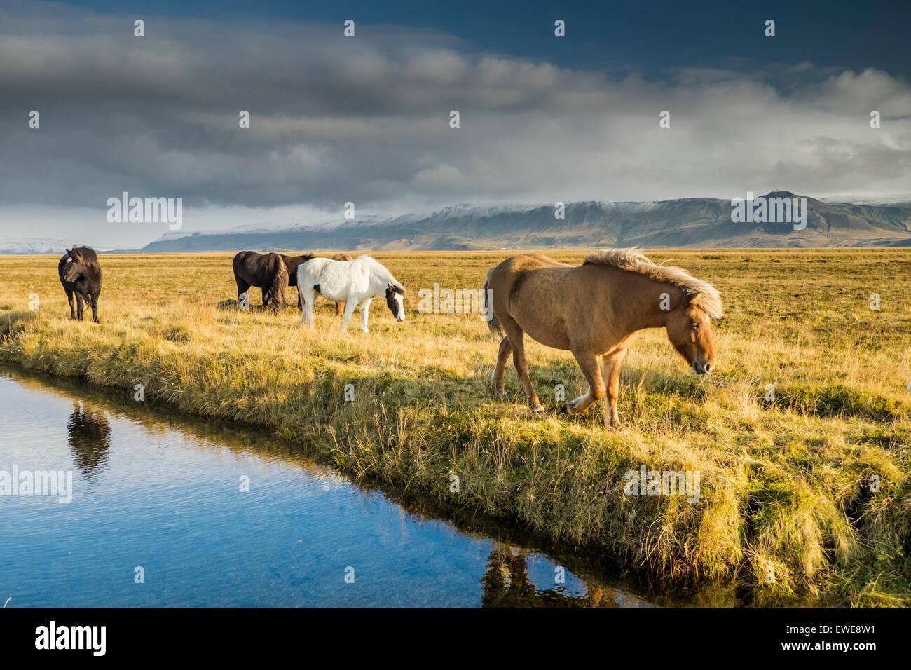 Islandpferde Herbst Island Stockfoto Bild 84522173 Alamy