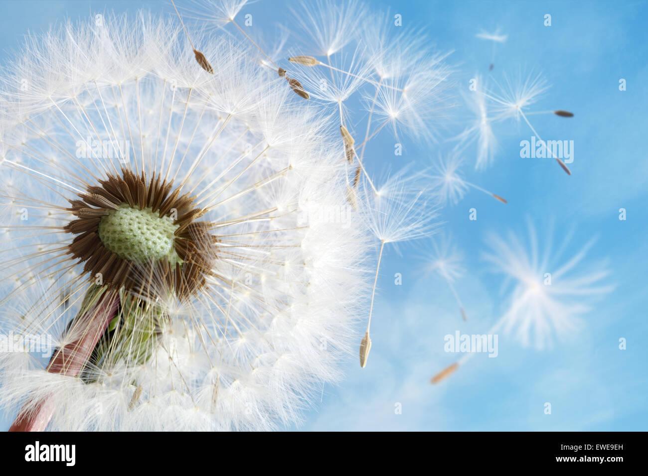 Löwenzahnsamen im morgendlichen Sonnenlicht verwehen im Wind über einen klaren, blauen Himmel Stockbild