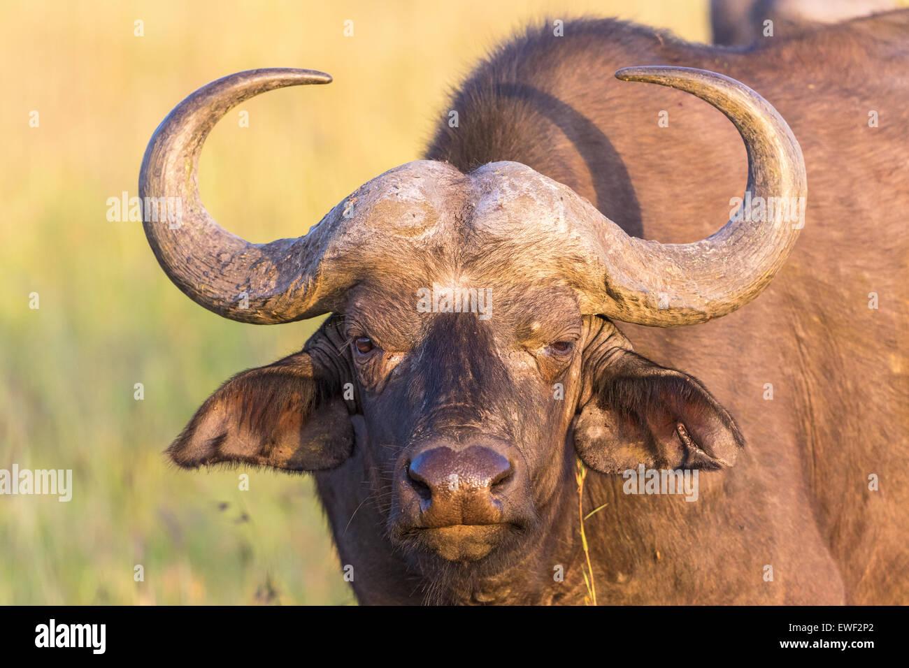 Afrikanischer Büffel, starrt dich an Stockbild