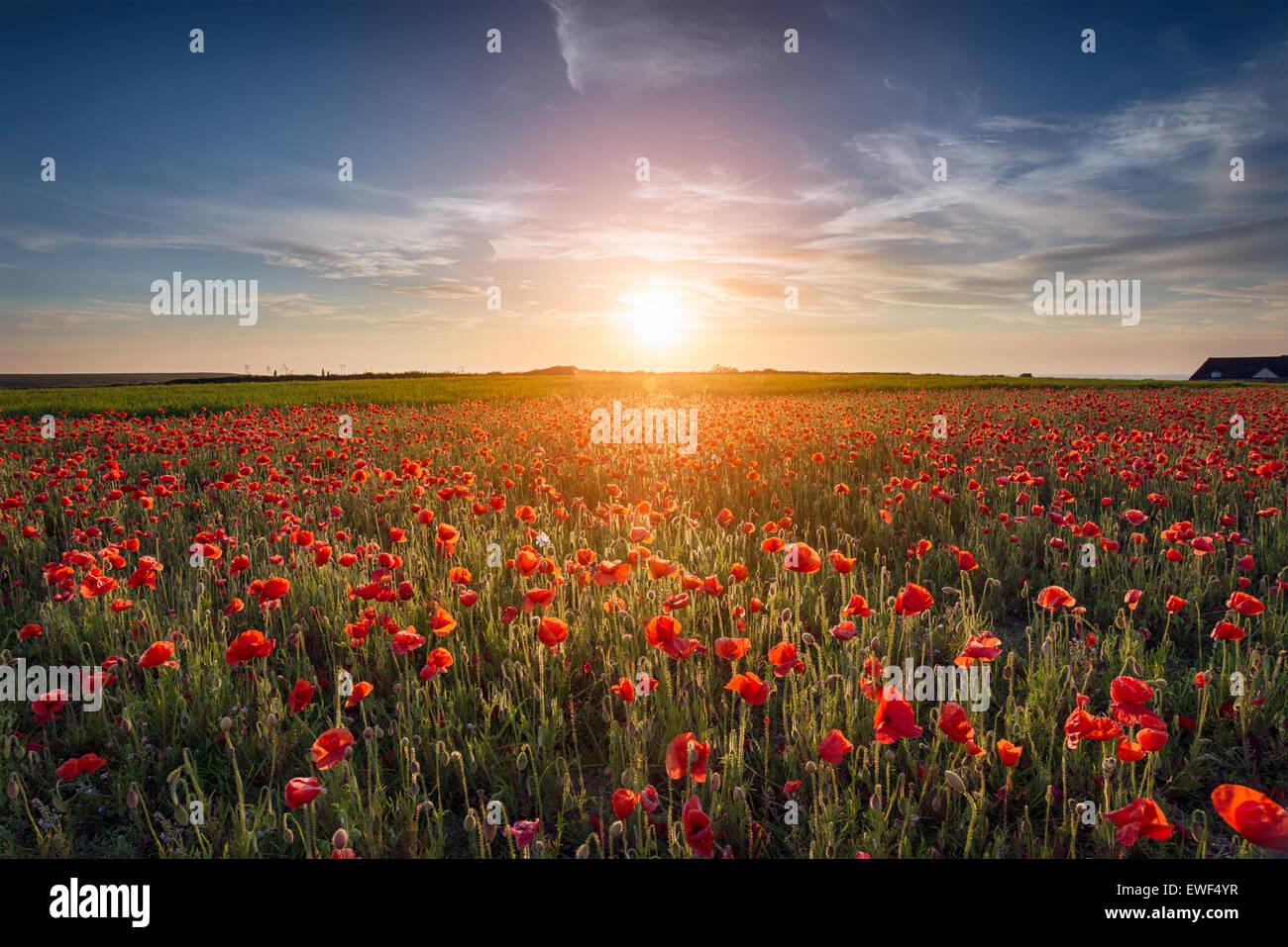 Sonnenuntergang über einem Feld von Mohn Stockbild