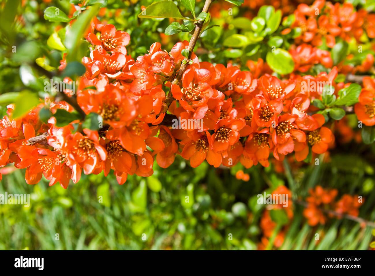 Zweig der Quitte Baum in voller Blüte mit Blumen. Stockbild