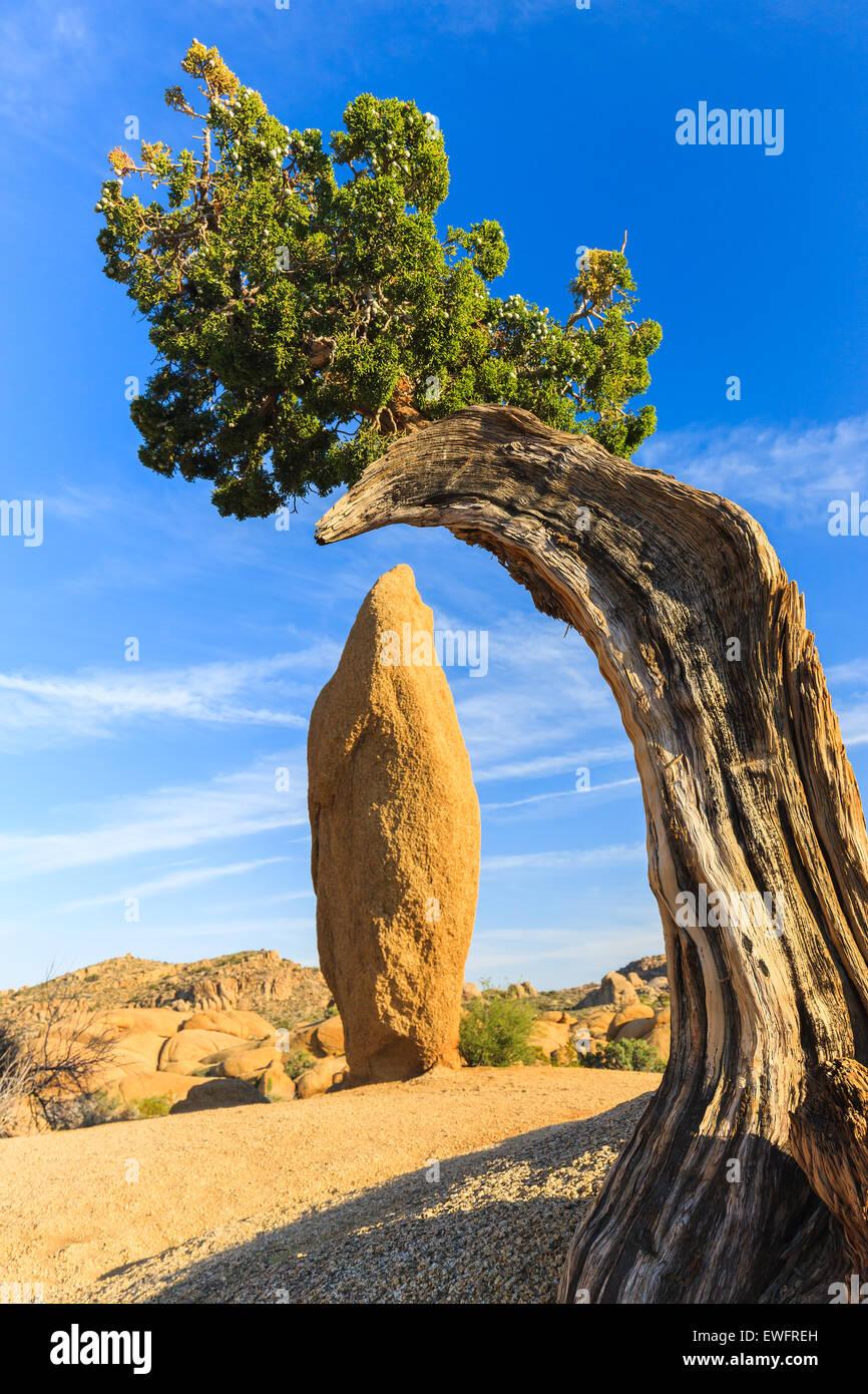 Wacholder und konische Rock bei Jumbo Rocks in Joshua Tree Nationalpark, Kalifornien, USA. Stockbild