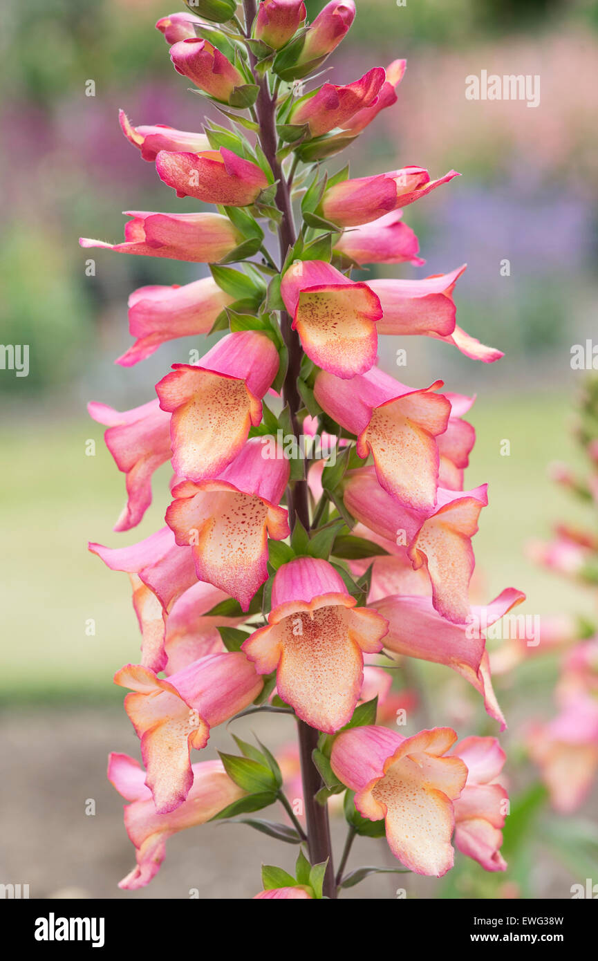 Digitalis Illumination Rosa. Hybrid-Fingerhut Stockbild