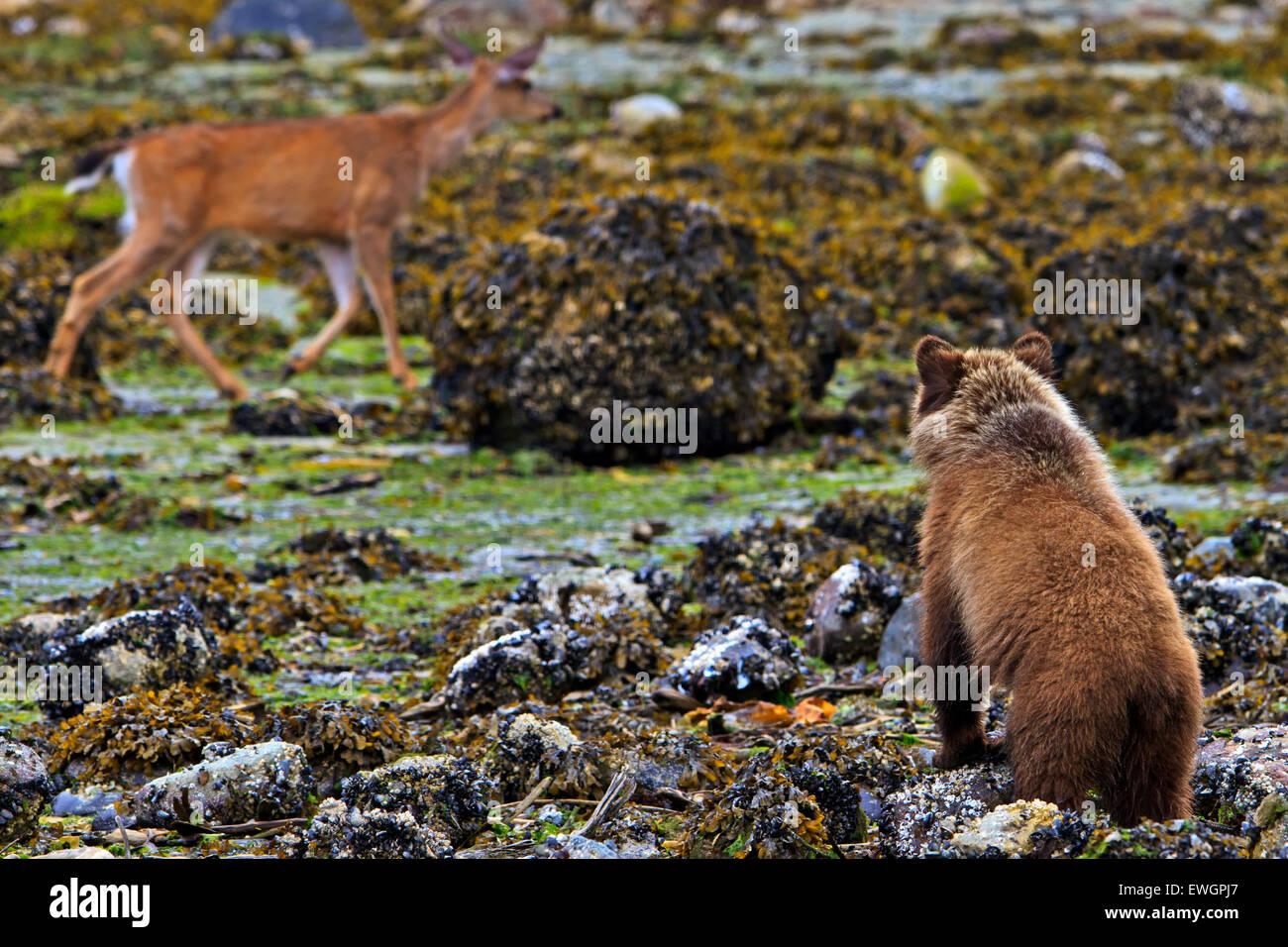 Coastal Grizzly Bear Cub mit Blick auf die vorbeifahrenden Hirsch, bei Ebbe auf dem Festland von British Columbia, Stockbild