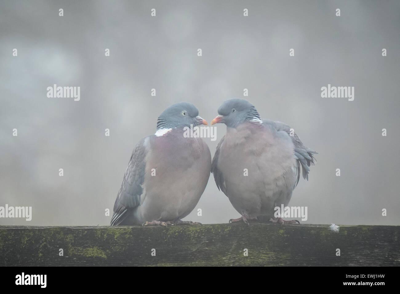 Zwei Tauben in einer grauen und kalten Umgebung flirten, bilden sie die Form eines Herzens Stockbild