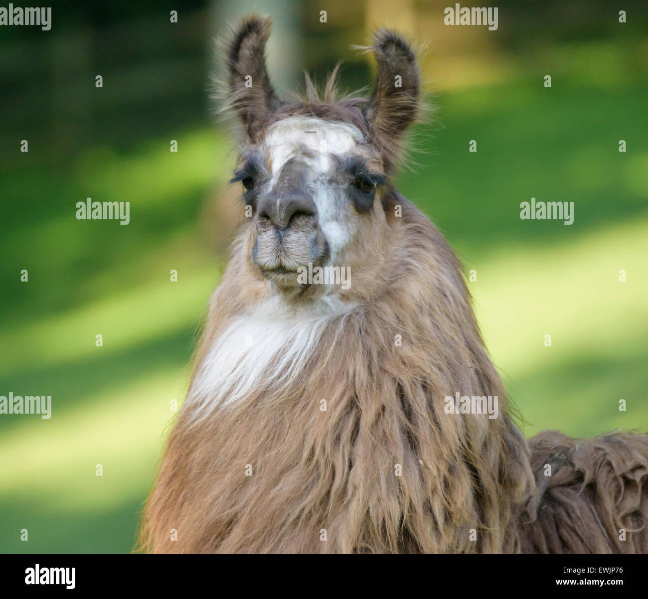 Lama-Haustier Stockbild