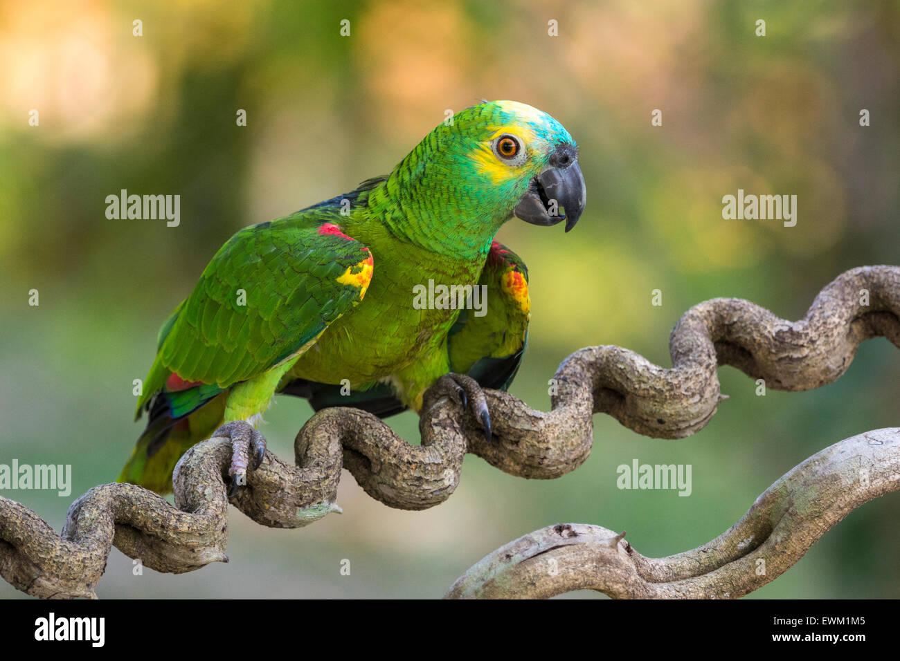 Blau-fronted Amazon Parrot, Amazona Aestiva, manchmal genannt blauem-fronted Parrot, Pantanal, Mato Grosso, Brasilien Stockfoto