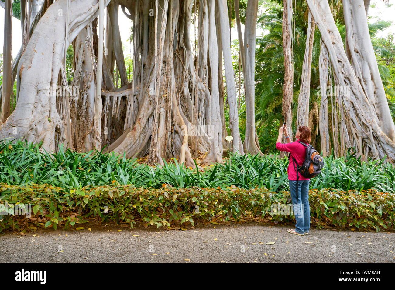 Ficus-Baum, Botanischer Garten, Puerto De La Cruz, Teneriffa, Kanarische Inseln, Spanien Stockbild