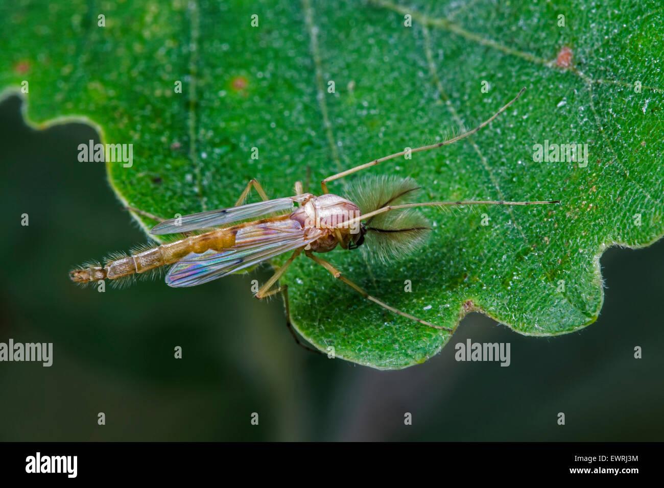Summer Mücke (Chironomus Plumosus) Arten von nicht-beißen Midge (Chironomidae) auf Eichenblatt Stockbild
